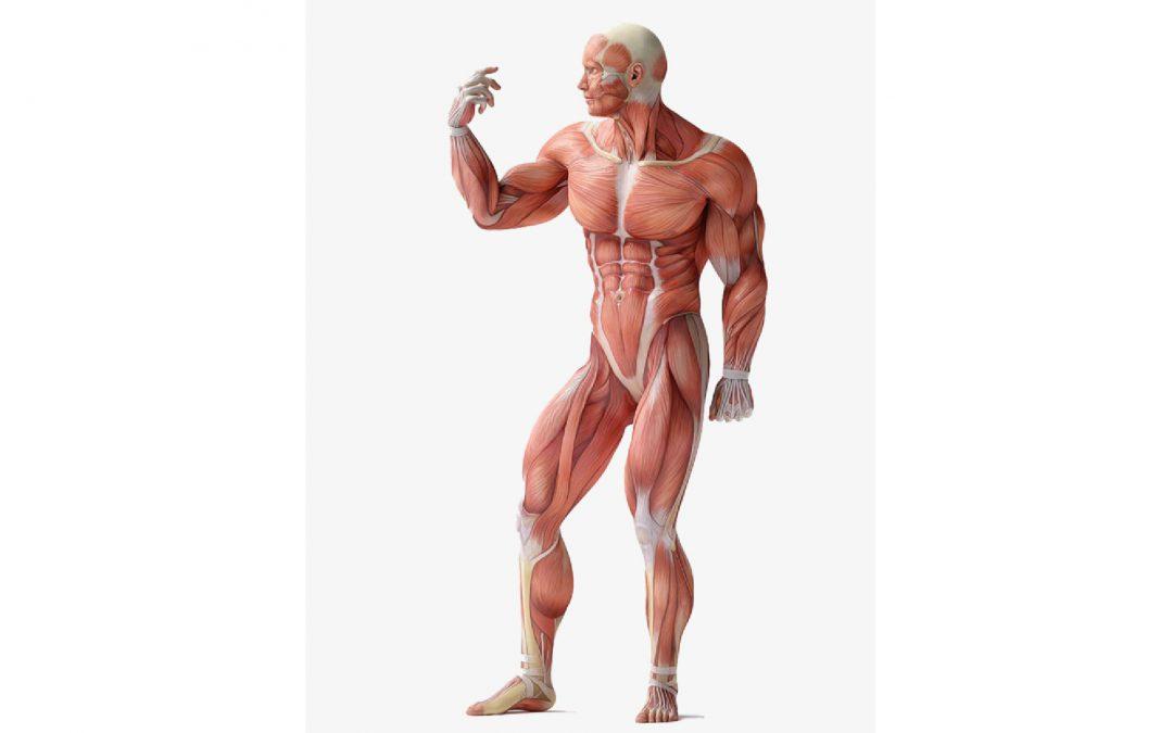 كيف تنمو العضلات لديك